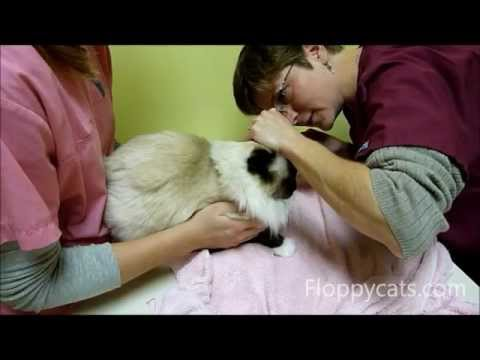 Ragdoll Cats Go To The Vet - ねこ - ラグドール -- Floppycats