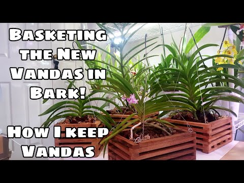 Transferring New Vanda Orchids From Bare Root To Baskets With Bark! No More Daily Soaks!