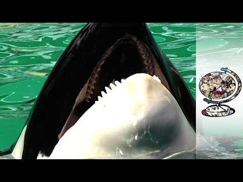 Freeing A Captive Killer Whale
