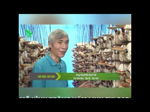 [VIDEO] Nhà Nông Làm Giàu | HIỆU QUẢ TỪ MÔ HÌNH TRỒNG NẤM LINH CHI GA2