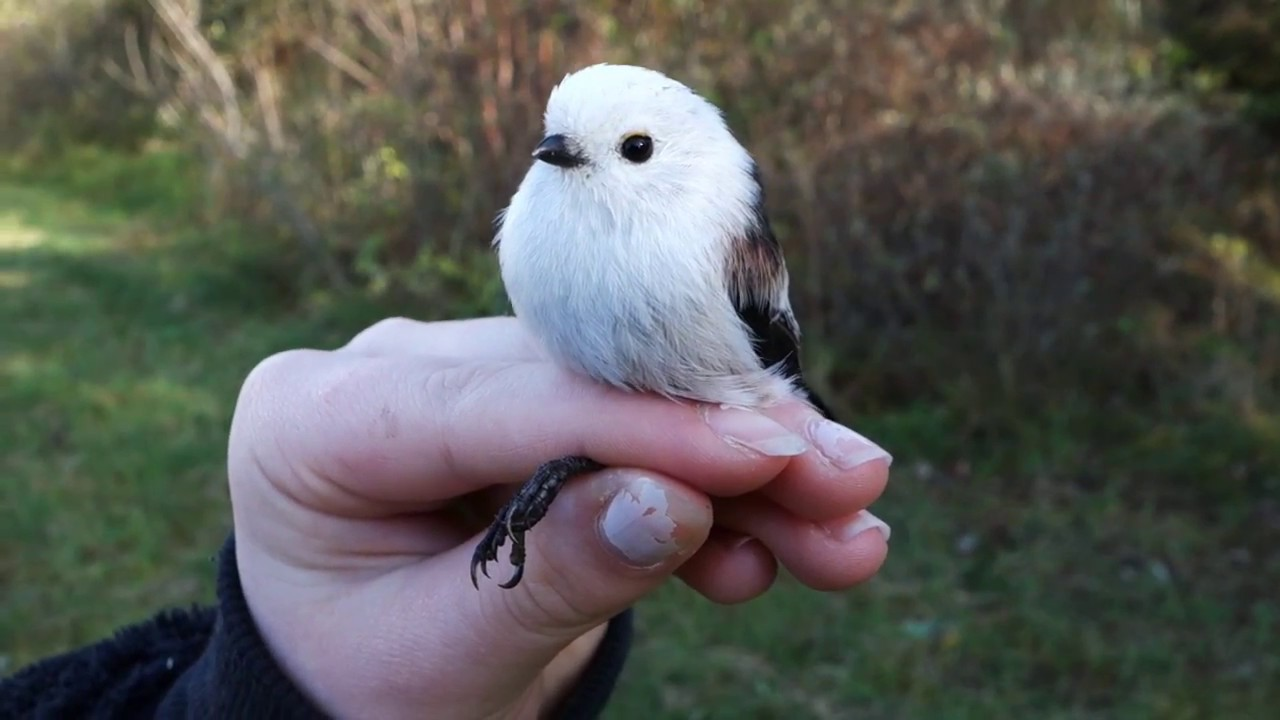 Download Long-tailed Tit ringed at Herdla Fuglestasjon - Stjertmeis (Aegithalos caudatus)