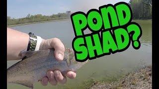 724e03299df0 Huge SHAD caught at farm pond ...