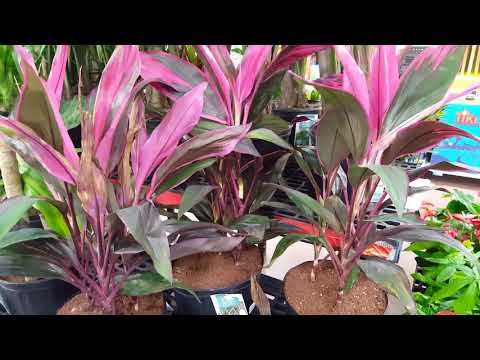 Care tips for the Cordyline Plant | Donna Joshi