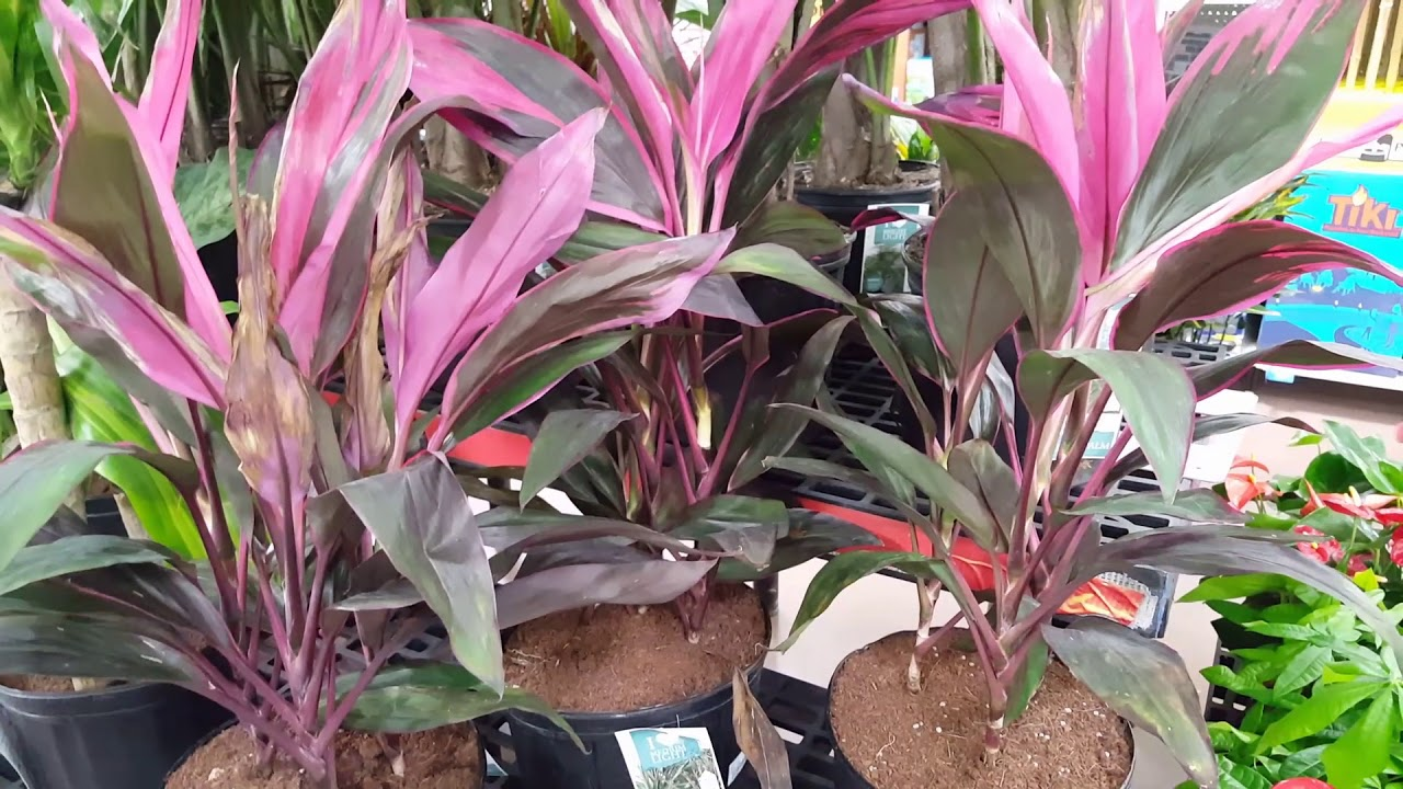 Care tips for the Cordyline Plant | Donna Joshi Cordyline House Plant on alternanthera house plant, aphelandra house plant, pleomele house plant, araucaria house plant, colocasia house plant, red and green leaf house plant, cereus house plant, olearia house plant, windmill palm house plant, lantana house plant, iris house plant, kentia palm house plant, acacia house plant, crassula house plant, zinnia house plant, scilla house plant, sansevieria house plant, mandevilla house plant, camellia house plant, giant white bird of paradise plant,