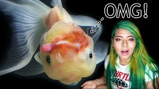 my-goldfish-s-brain-exploded-treating-wen-injury-and-dropsy-in-goldfish