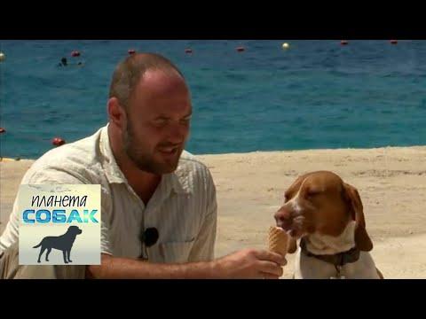Мальтийский пойнтер. Планета собак 🌏 Моя Планета