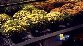 Sunday Gardener: Time to plant mums!