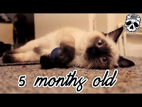 Maya - 5 Months Old Update! - Seal Colour Point Ragdoll Kitten