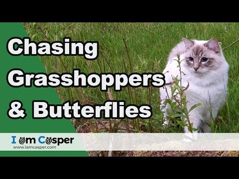 Outdoor cat adventures - The grasshopper - starring Ragdoll Casper