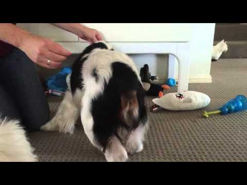 Massaging the Sacrotuberous Ligament in the Dog. | FunnyDog.TV Sacrotuberous Ligament Dog
