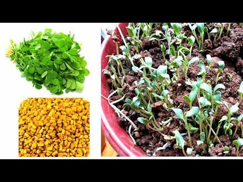 Where To Buy Fenugreek Seeds In Canada for Beginners