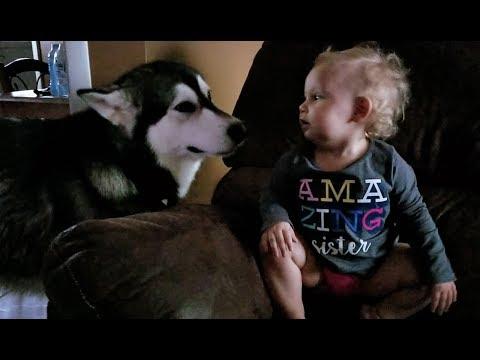 Malamute & Baby Howling!!!!!!
