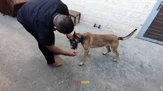 الكلب-الراعي-البلجيكي-مالينوا-مع-جمال-العمواسي