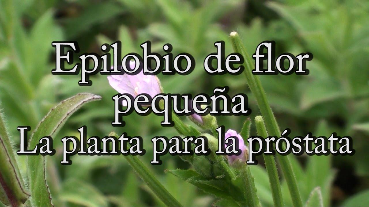 Epilobio De Flor Pequeña La Planta Para La Próstata Con Josep Pàmies Youtube