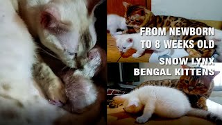 FROM NEW BORN TO 8 WEEKS OLD SNOW LYNX BENGAL KITTENS
