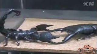Жук-олень против скорпиона