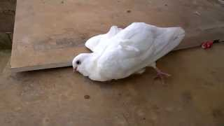 الإسهال اخضر الحمام Dysentery pigeons  diseases