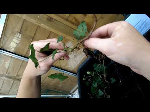 Ivy (Hedera helix) How To Propagate & Make More Plants!