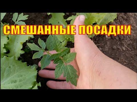 Вопрос: Баклажаны и томаты на одной грядке, совместимы?
