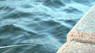 ガシラ!初根魚狙いの方にオススメ動画です! thumbnail