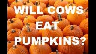 WILL COWS EAT PUMPKINS?