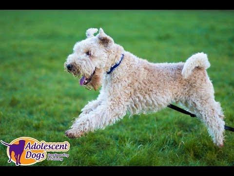 Teddy - Lakeland Terrier - 5 Week Dog Aggression Residential Training