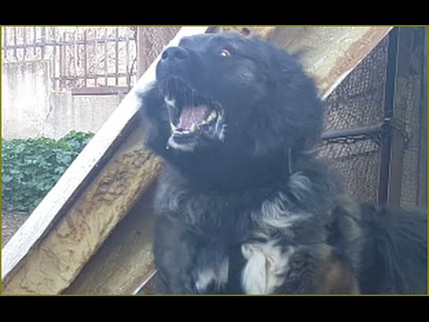 كلب قوقازي شرس مثل الكلب لوكو المجنون بعد ان عض صاحبه مع جمال العمواسي