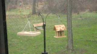 Squirrel Jumps for Feeder and MISSES.. Hits Hard!