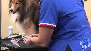 How to Prepare a Shetland Sheepdog for the Conformation Show Ring with Michell Evans  ICMG, NCMG