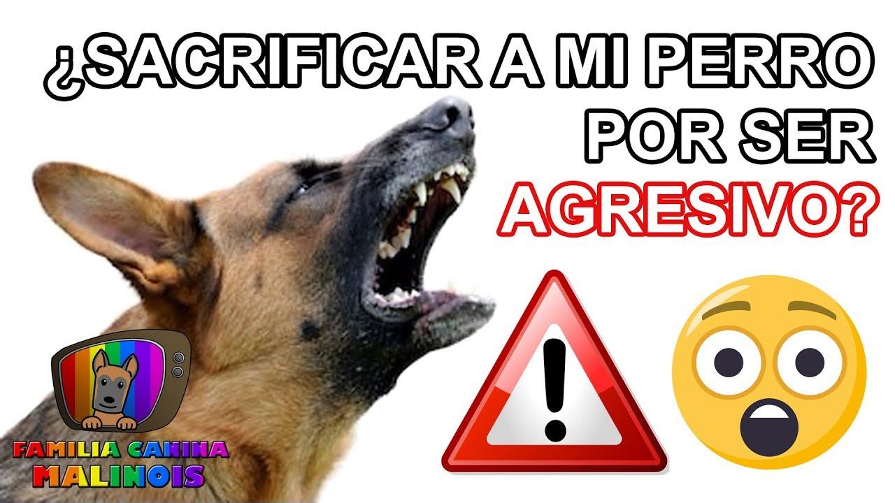 Sacrificar A Mi Perro Por Ser Agresivo Cuidado Es La Solución Adiestramiento Canino Youtube