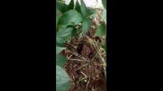 Snail farming in Nigeria(egg laying)(08073122596)