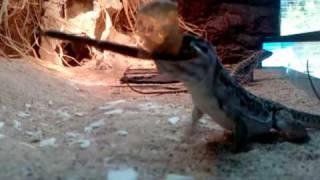 видео Gambelia wislizenii