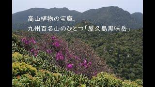 高山植物の宝庫、屋久島で手軽に登れる九州百名山「黒味岳」。バリエーションに富んだおすすめのトレッキングコースです!