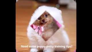 Potty Training A Pomeranian | Need Help? Potty Training A Pomeranian Doesn't Have To Be Hard!