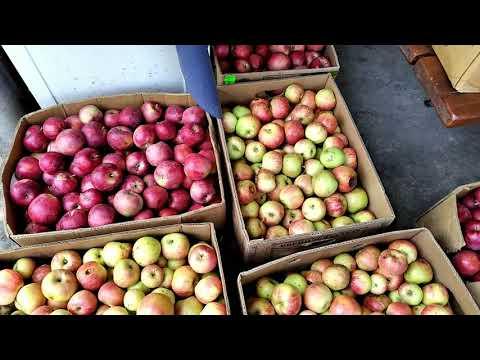 Сидр домашний своими руками. Продолжение фруктового сезона.(сорт яблок.Глостер. Чемпион) часть1.