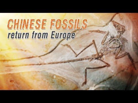 "Live: Chinese fossils return from Europe亿万年前""龙鸟""化石归国"