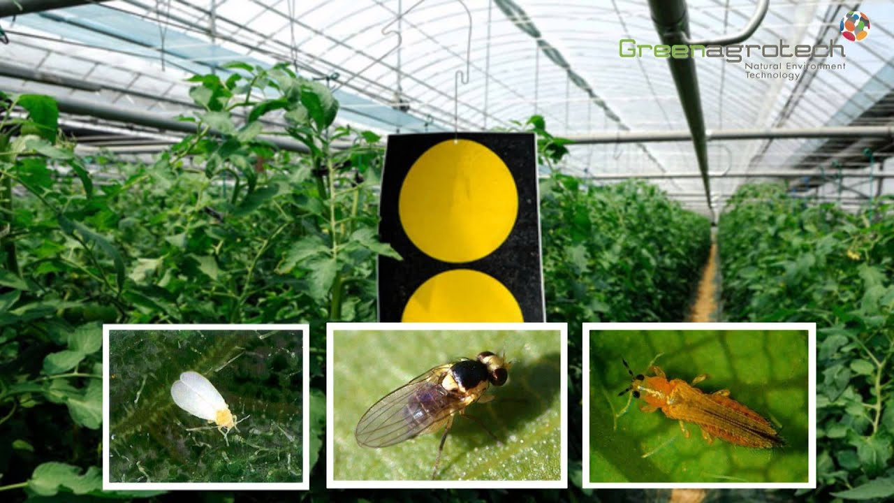 Pheromone Trap Bumblebee Sticky Board Mating Disruption Insect By Green Agro Tech