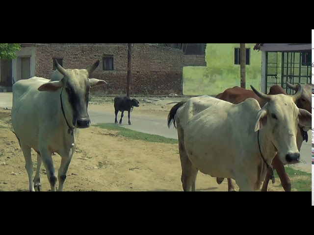Friends of Cows | 19.09.2020