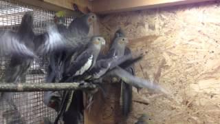Попугай Корелла серая (Nymphicus hollandicus) продажа оптом