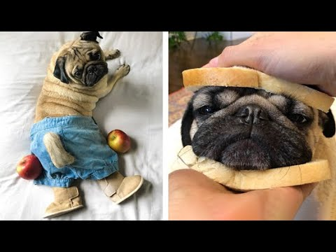 Funniest and Cutest Pug Dog Videos Compilation 2020 #5