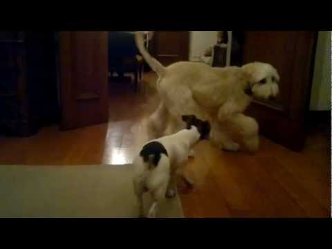 Cuccioli - Levriero Afgano & Jack Russell