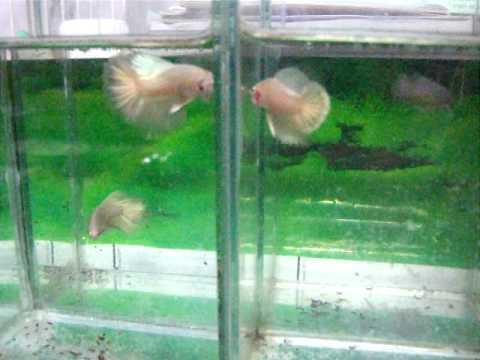 ปลากัดทอง ทองบริสุทธิ์ Pure Gold.avi