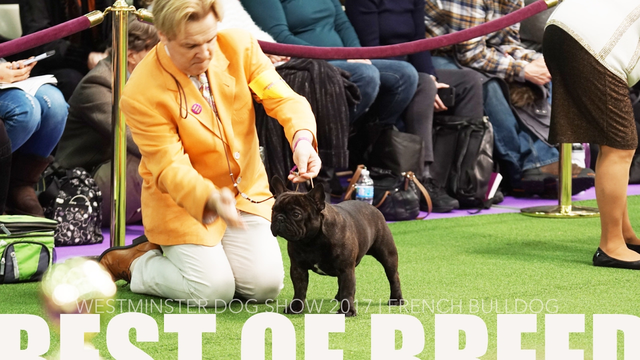 Westminster dog show 2017 french bulldog best of breed for French shows