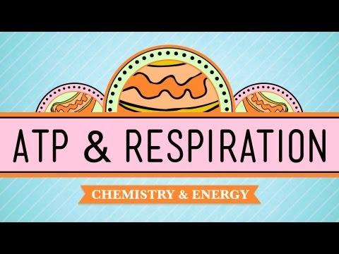 ATP & Respiration: Crash Course Biology #7
