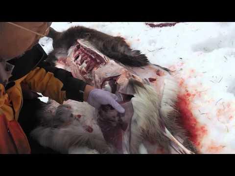 Deer hunting knives #152 / Mora new Robust