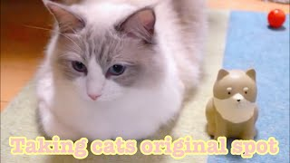 I took my cat's usual position!【Ragdoll cats】【adorable cute animals】