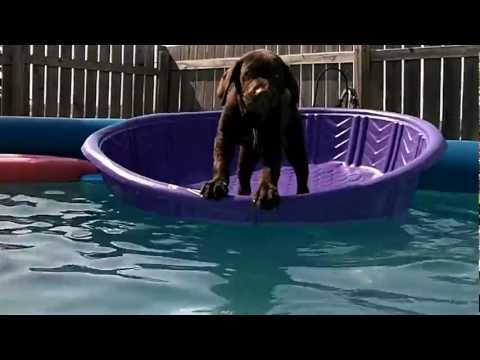 Chocolate Lab in the pool at 12 weeks
