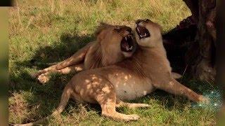 Львы сбежали из заповедника в Кении