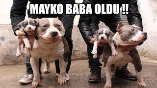 MAYKO BABA OLDU !! EFSANE KÖPEKLER 11.BÖLÜM ( Pitbull, Bully, Amstaff ) Köpek Yavrusu, Puppy, Dogs