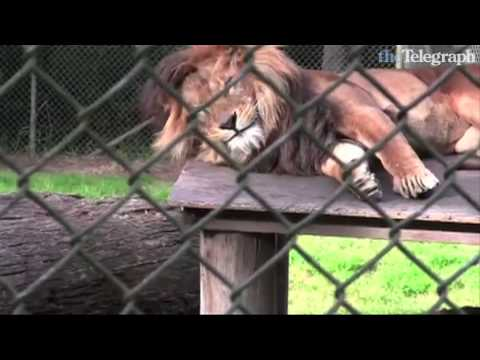 Lion wakes up and flashes his teeth